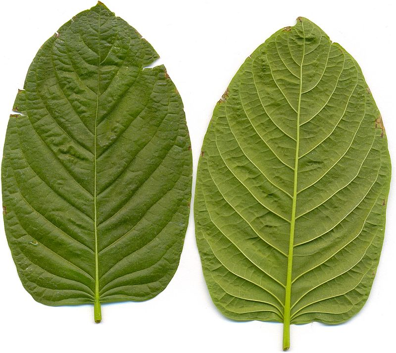 The Fundamental Truth About Kratom Powder